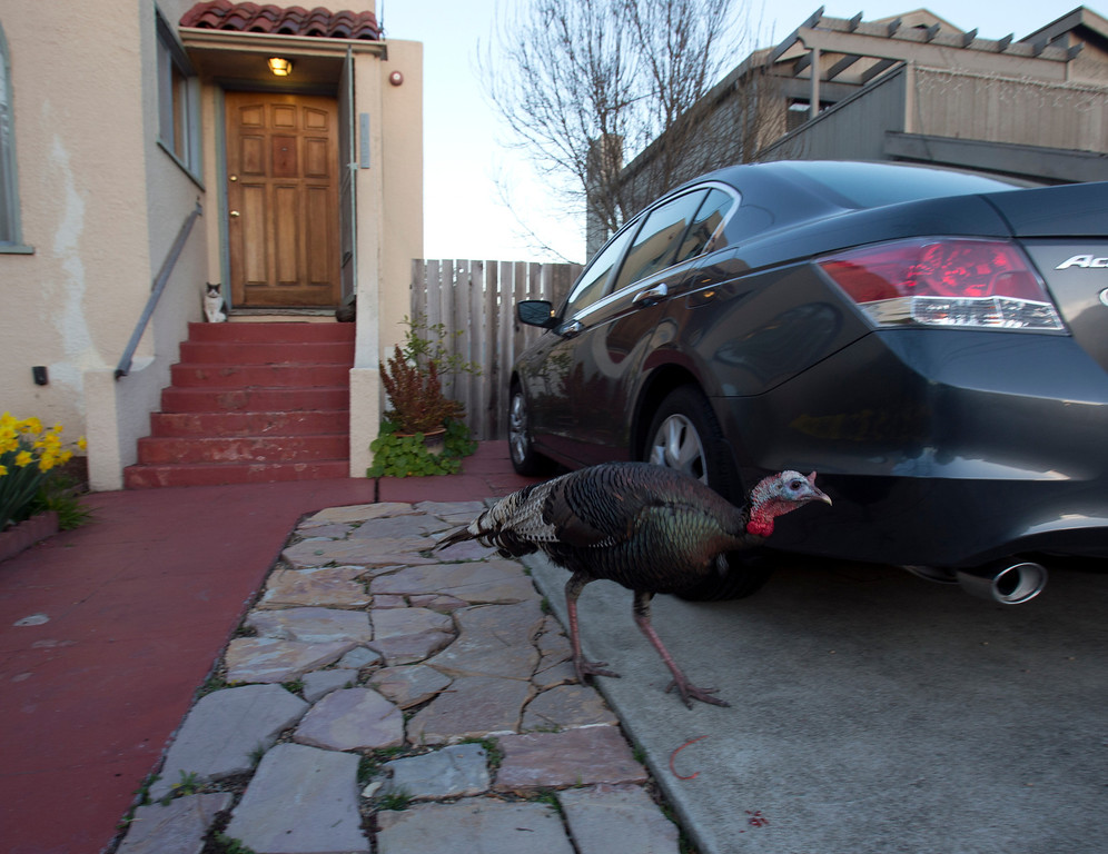 . A wild turkey is not intimidated by a neighborhood housecat, as it meanders along Cornell Avenue, Sunday, Feb. 24, 2013 in Albany, Calif. Neighbors are requesting that the city do something about the birds, a flock of which have taken up residence in an area tree. (D. Ross Cameron/Staff)