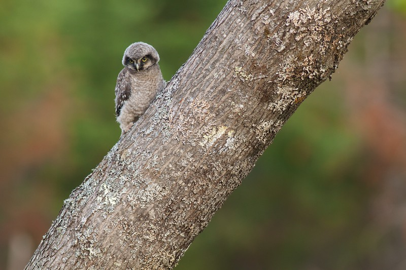 Northern Hawk Owl baby juvenile Owl Ave Sax-Zim Bog MN Northern Hawk Owl baby juvenile Owl Avenue Sax-Zim Bog MN IMG_1204.jpg