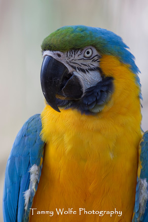 Macaw, Blue and Gold