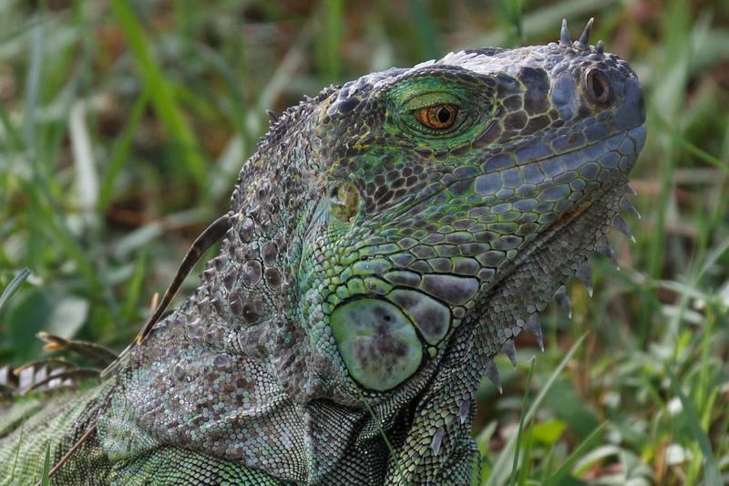 Greem Iguana-5411.jpg