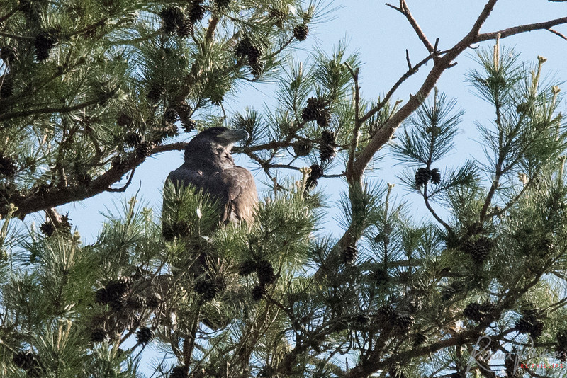 """One of the """"baby"""" eagles sunning itself on its perch."""
