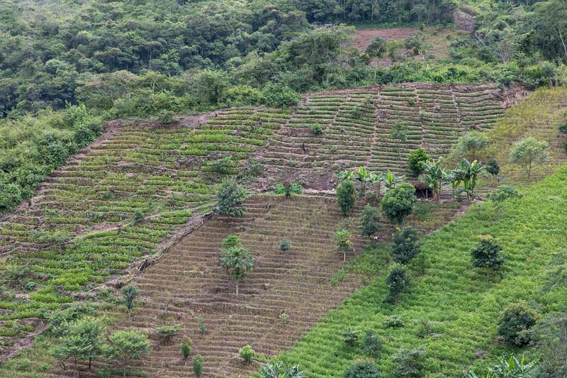 Typical Coca field