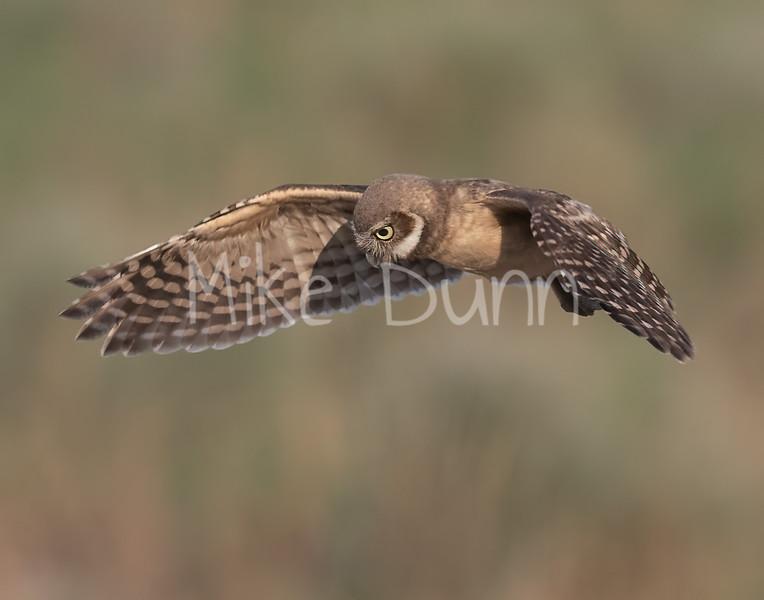 Burrowing Owl 21-58