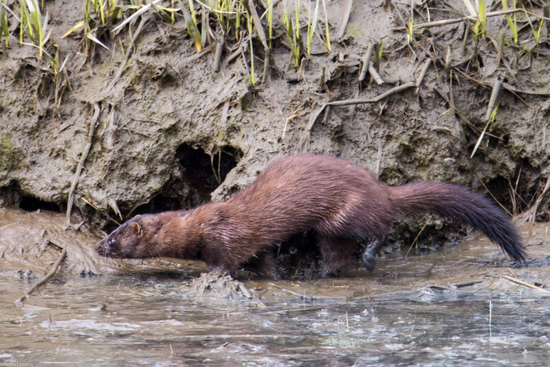 Mink in the Mud