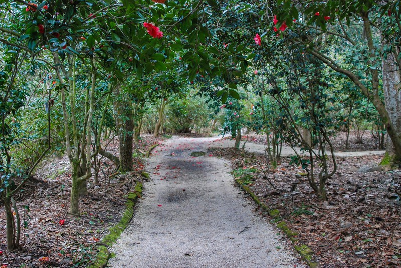 The historic camellia collection at Magnolia Gardens