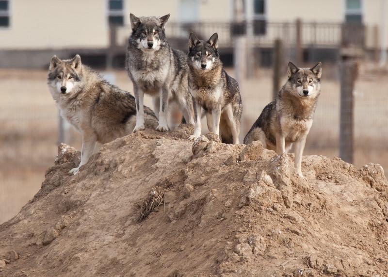 8148 Wolves.JPG