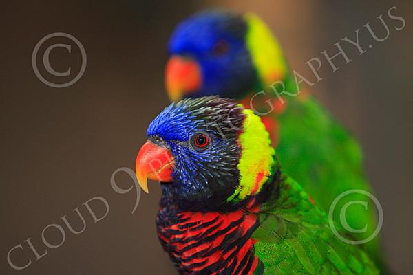 Lorikeet Wildlife Photography