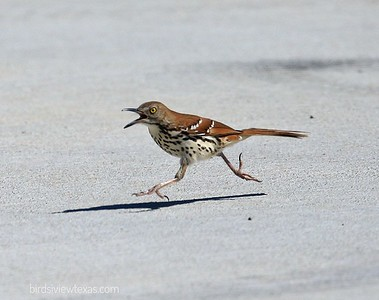 Mocking Birds/Thrashers