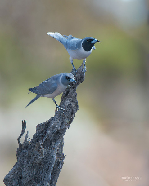 Masked Woodswallows, Gluepot, SA, Aus, Nov 2014-1 copy.jpg