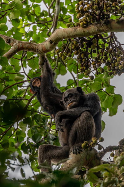 Uganda_T_Chimps-1263.jpg