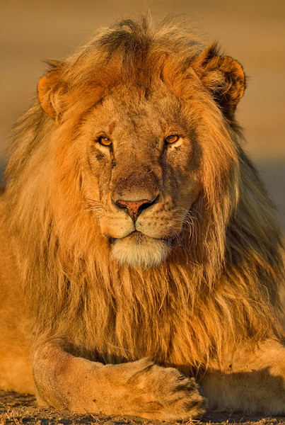 Glowing-golden-lion-mane-Ndutu-Tanzania.jpg