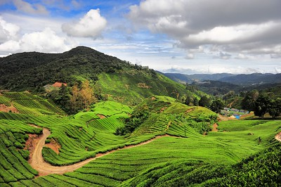 Boh Tea, Cameron Highlands