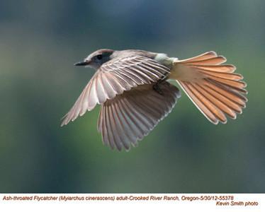 Tyrant Flycatchers