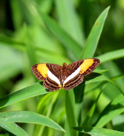Butterflies  (7)