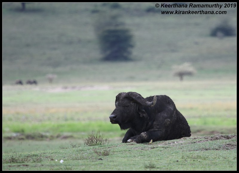 African Cape Buffalo, Ngorongoro Crater, Ngorongoro Conservation Area, Tanzania, November 2019