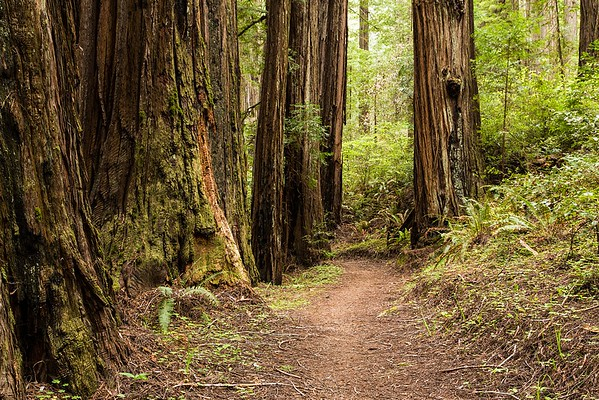 Homestead Trail and Big Tree Trail, Part 2 - Humboldt Redwoods State Park, May 2, 2015