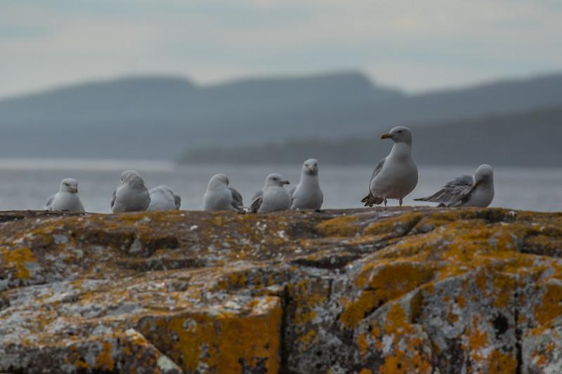 Seagulls Lake Superior-6151.jpg