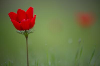 Negev North Windflower blossom