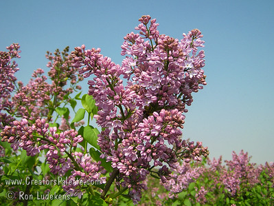 F. K. Smith Lilac - Syringa x hyacinthiflora 'F. K. Smith''