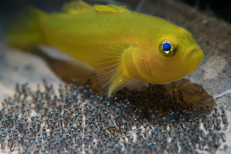 goby with eggs Kraken test (1 of 1).jpg