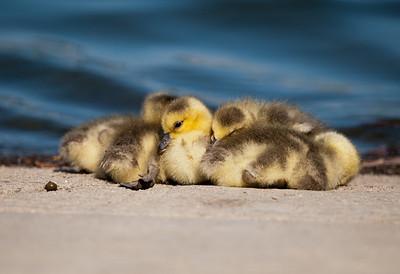 Canada Goose gosling (<em>Branta canadensis</em>)