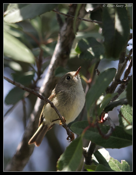 Ruby-crowned Kinglet, The Drip, Cabrillo National Monument, San Diego County, California, April 2010
