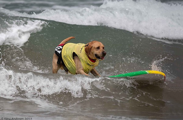 Dog Surf Competition 7/28/18 Imperial Beach