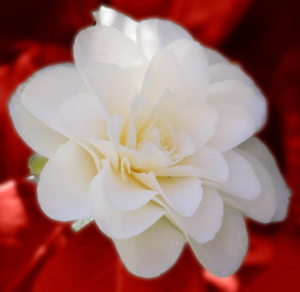 magnolia IMG_3285 red.jpg