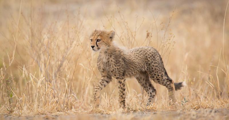 Cheetah cub-of-the-year in grass, Tarangire National Park