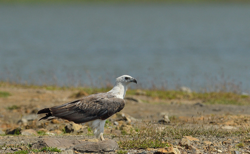 White-belied-sea-eagle-with-eel-catch-andaman-3.jpg