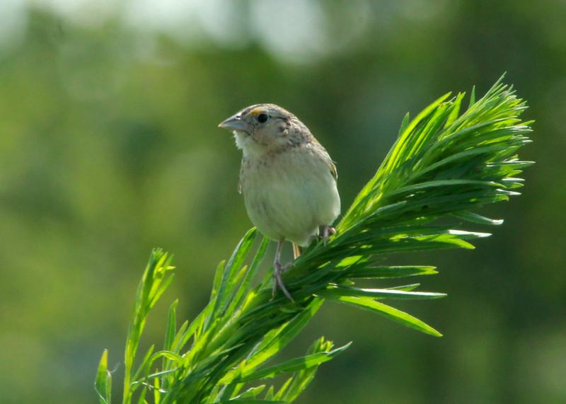 Grasshopper Sparrow @ Columbia Bottom CA