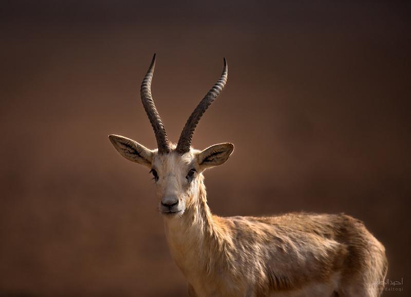Arabian Oryx (12).jpg