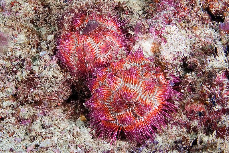 Collector Urchins.jpg