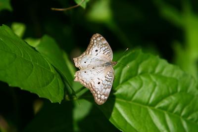 Palenque mariposa0178.jpg