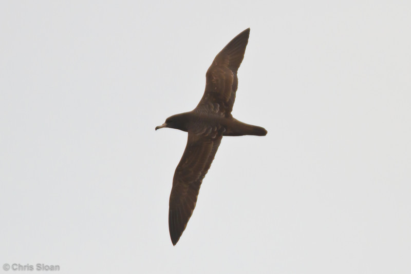 Flesh-footed Shearwater at pelagic out of Bodega Bay, CA (10-15-2011) - 500.jpg