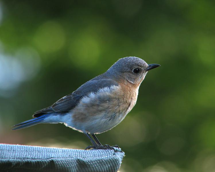 bluebird_6233.jpg