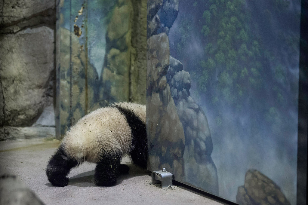 . Giant panda bear cub Bao Bao moves around inside the David M. Rubenstein Family Giant Panda Habitat at the Smithsonian National Zoological Park January 6, 2014 in Washington, DC. Born August 23, 2013, and weighing nearly 17 pounds, Bao Bao will make her public debut at the zoo on January 18.  (Photo by Chip Somodevilla/Getty Images)