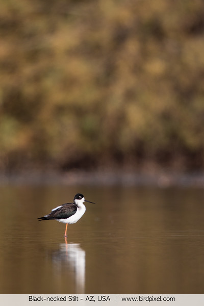 Black-necked Stilt - AZ, USA