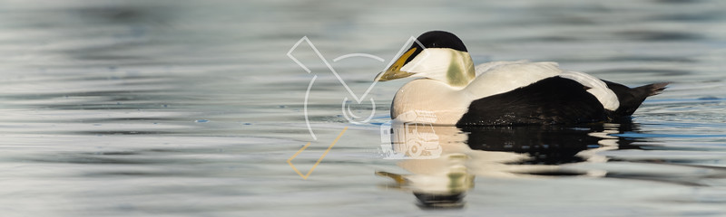 Male common eider seaduck on the waters of Jokusarlon glaciar lake