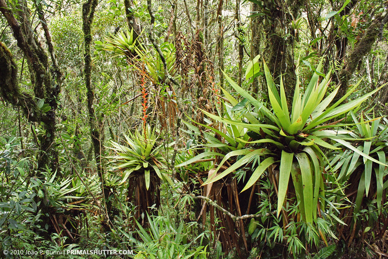 Bromeliads in Intervales state park