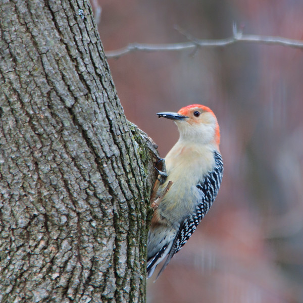 red bellied woodpecker3.jpg