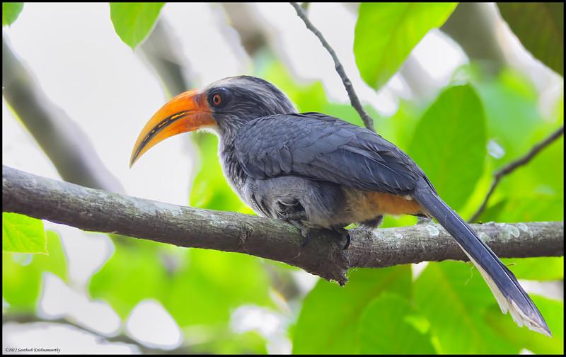Malabar Grey Hornbill....