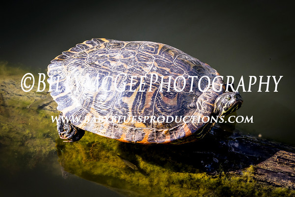 Pond Turtles - 08 Apr 2012