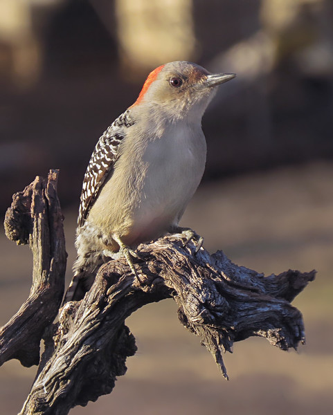 sx50_red_bellied_woodpecker_boas_589.jpg