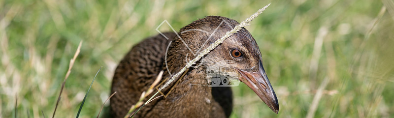 The weka, also known as Maori hen or woodhen, (Gallirallus australis) is a flightless bird species of the rail family.