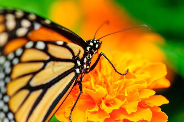 20070519 Krohn Butterflies