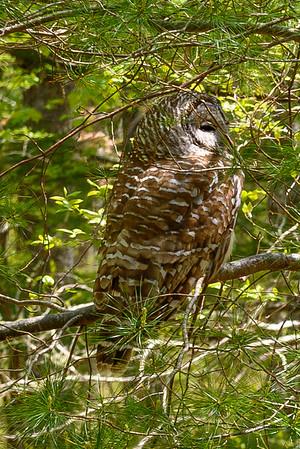 Barred Owl at Kimball Sanctuary, Charlestown, RI