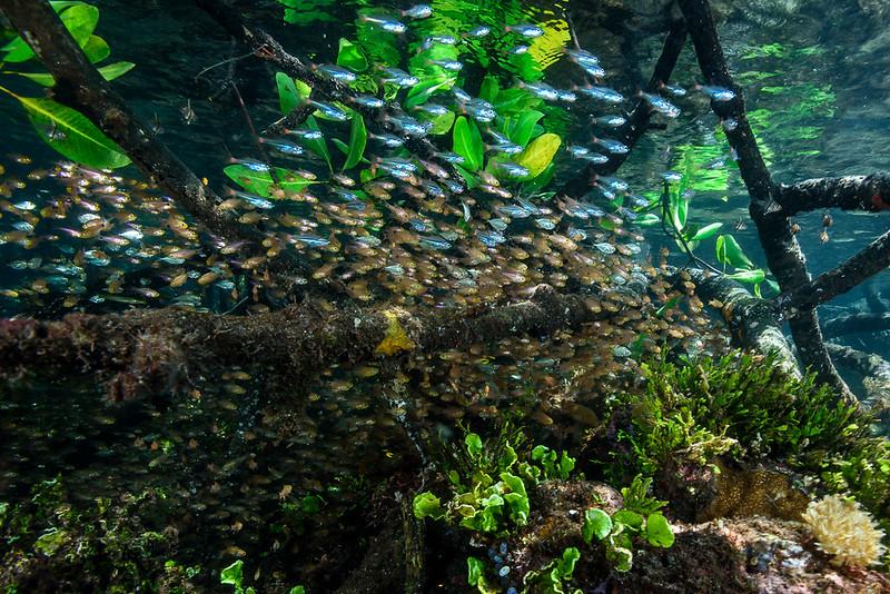 Mangroves, Raja Ampat, Indonesia.