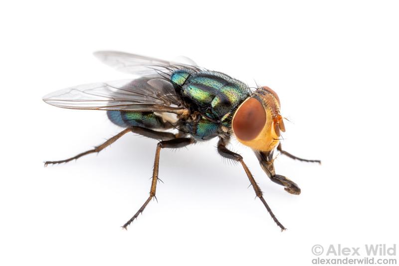 Cochliomyia macellaria