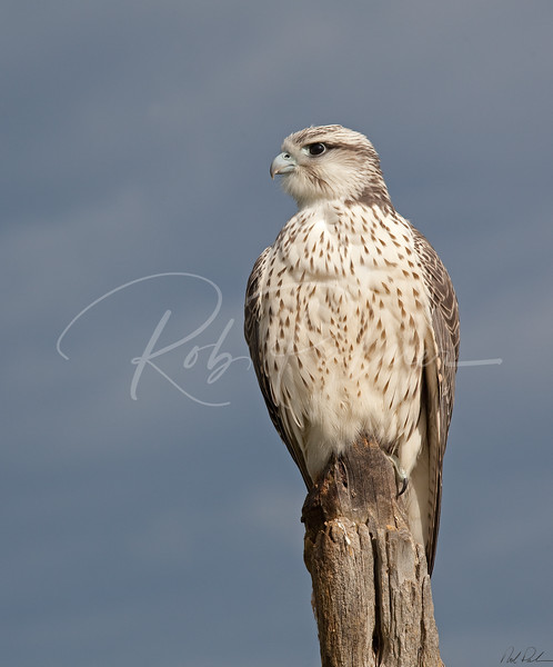 Young Gyrfalcon